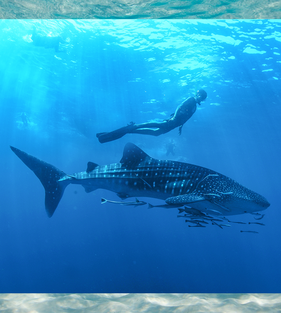 Whale Shark Encounter